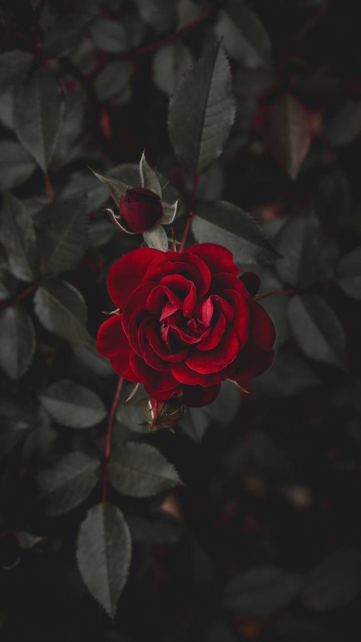 Dark Red Rose Iphone Wallpaper Agenda Bujo In 2019
