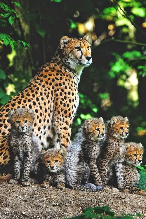 Cheetah mom and cubs Animals wild, Animals, Animals