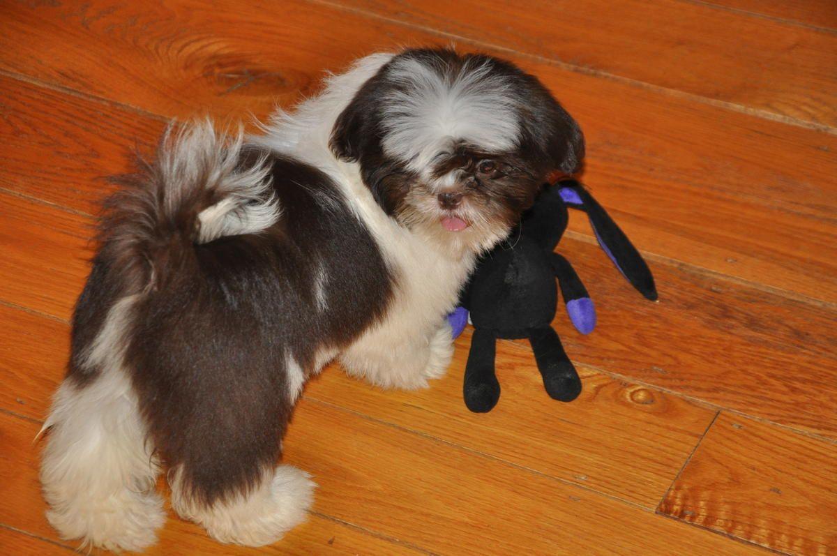 Brown White Shih Tzu In Ashburnham Massachusetts Hoobly Classifieds Shih Tzu Ashburnham Dogs