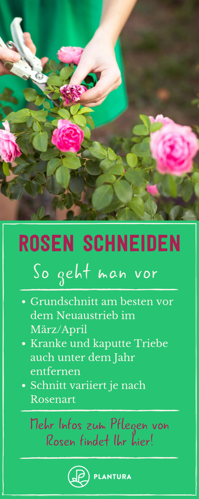 Rosen: Alles zu Pflanzen, Pflege & Sorten der Blumenkönigin - Plantura