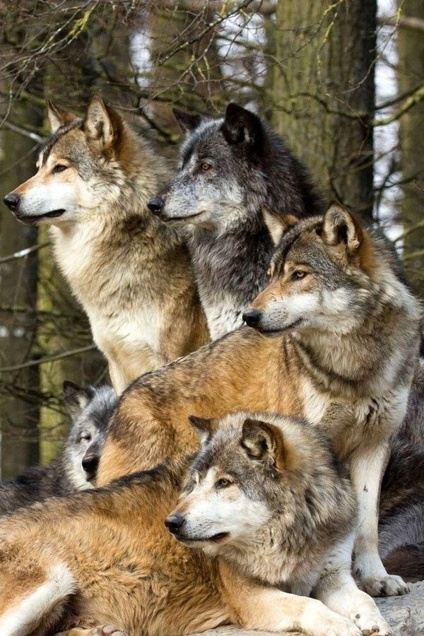 Happy Birthday Wolfpack Meme