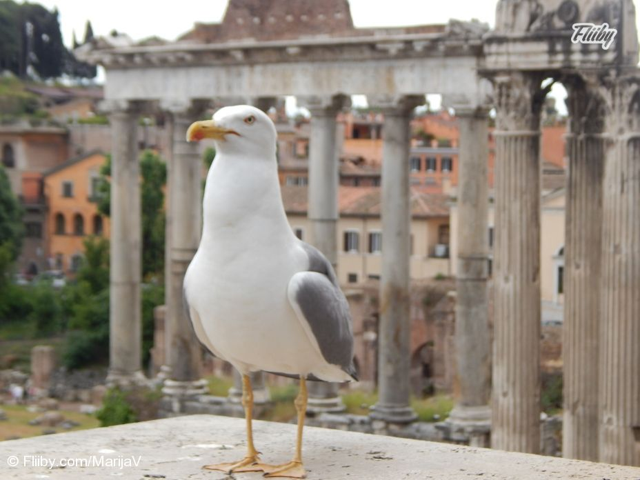 Seagull standing in front of the #lens of our #publisher MarijaV during her visit to ancient #ruins in #Rome http://buff.ly/1QdovGu?utm_content=bufferb112c&utm_medium=social&utm_source=pinterest.com&utm_campaign=buffer #photo