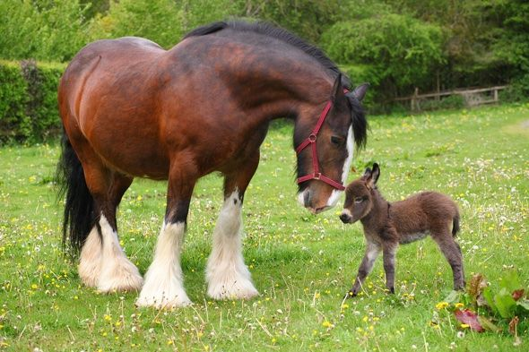 Pusheen Wallpaper Fall Baby Donkey Meets Huge Shire Horse For First Time Heart