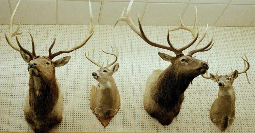How to bleach a deer skull with images deer skulls