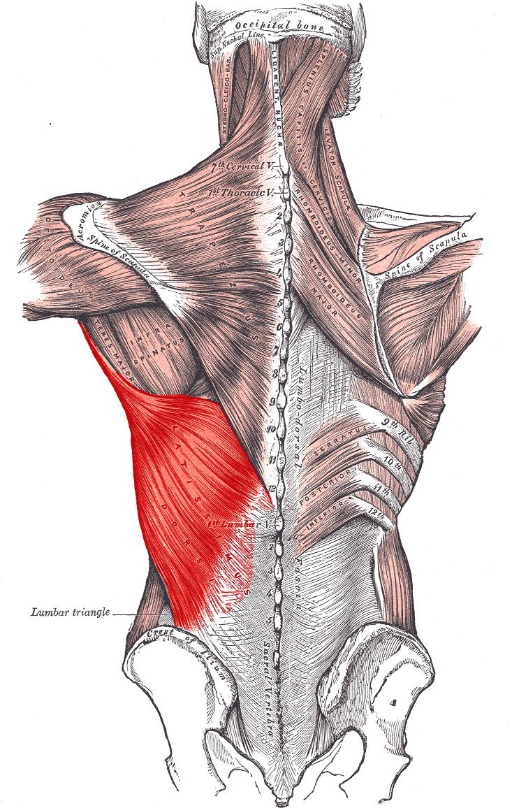 dorsal ancho | Anatomía 2 - Hombro | Pinterest