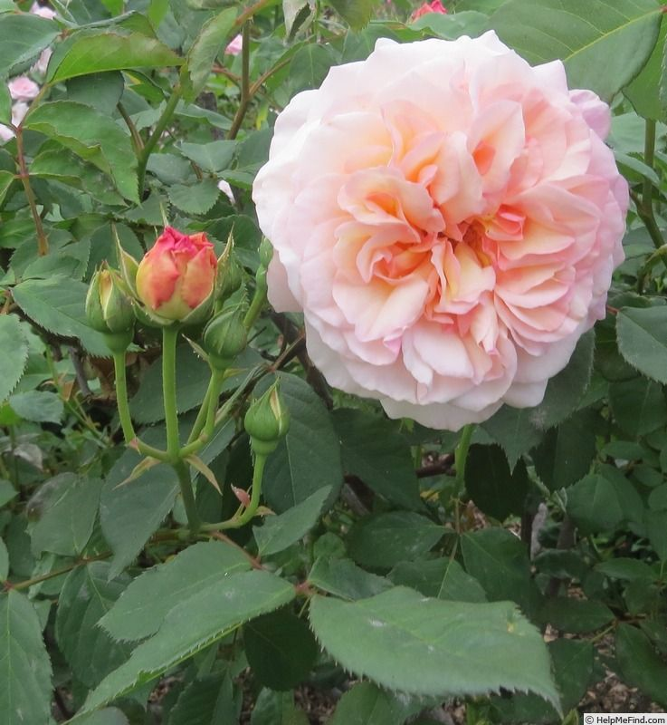 Gruss An Aachen Rose Photo Rose Beautiful Roses Flowers
