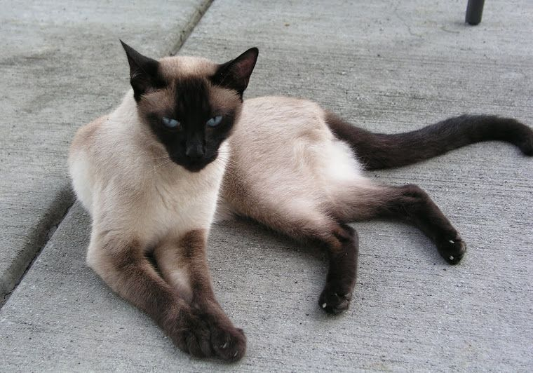 Breeders of siamese kittens available for sale siamese