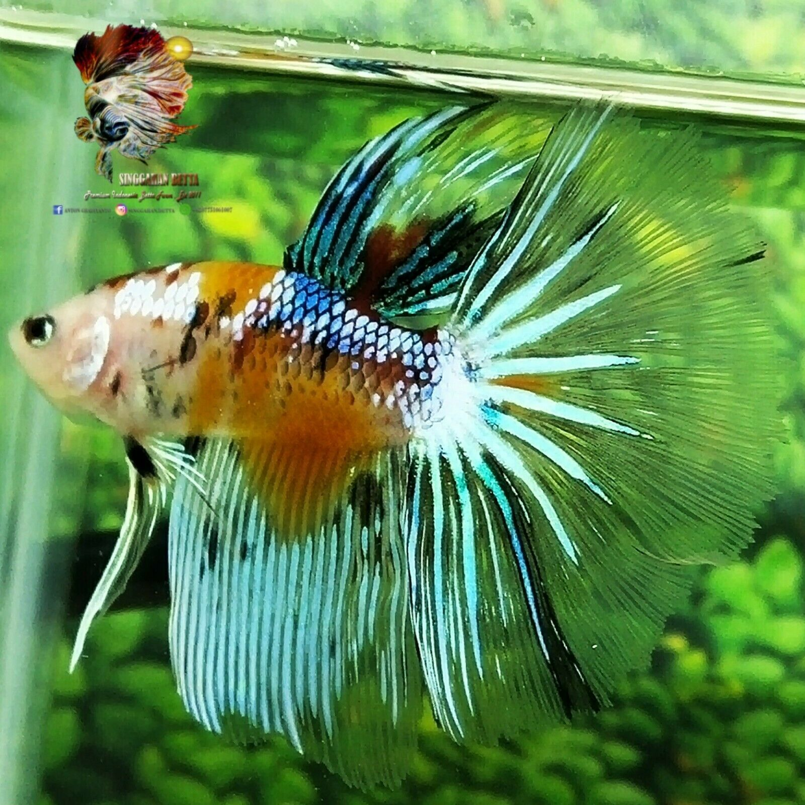 Live Betta Fish Orange Multicolor Samurai Hm Male From Indonesia Breeder Betta Fish Ideas Of Betta Fish Bettafish Live Betta Fish Betta Halfmoon Betta