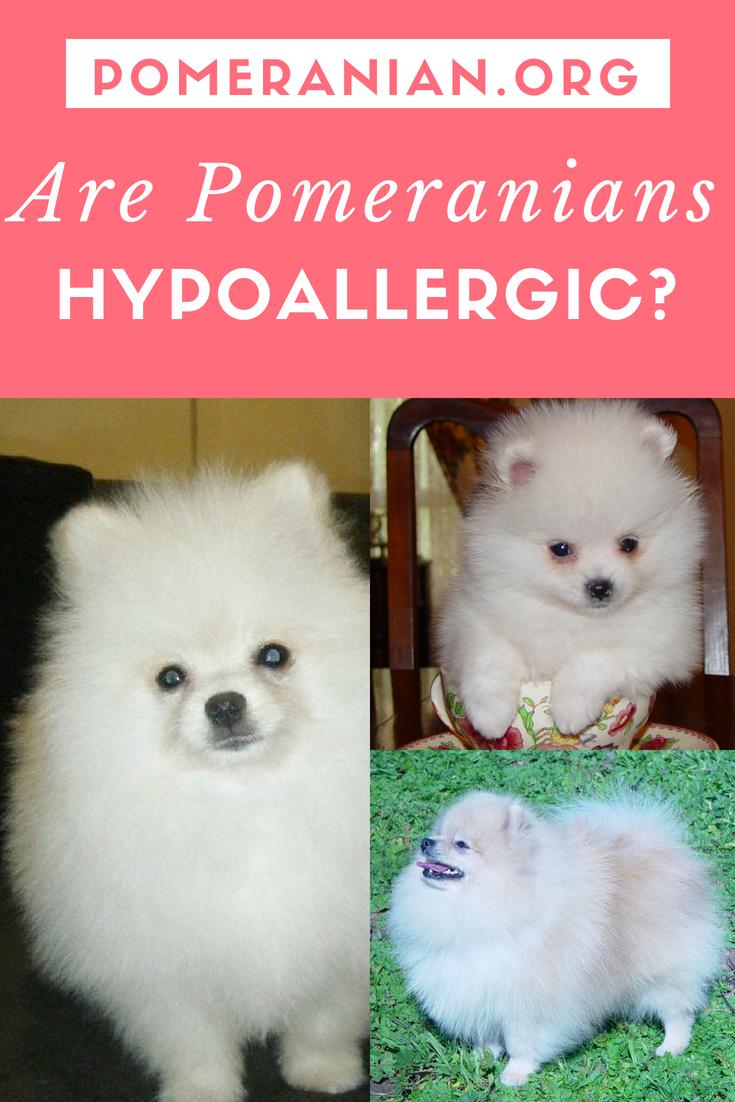 Are Pomeranians Hypoallergenic Pomeranian Dogs Save A Dog