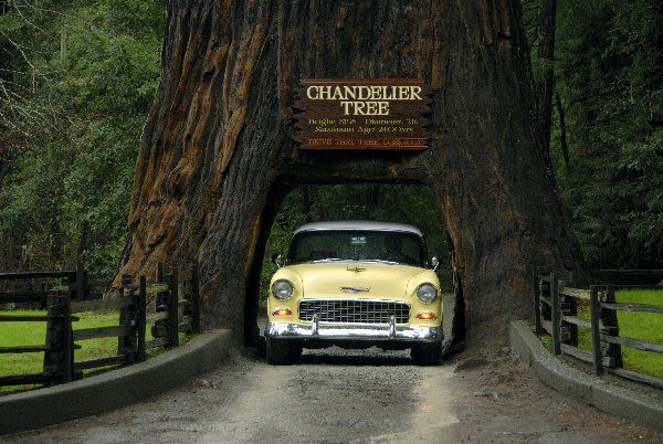 Chandelier Drive Thru Tree with 1951 Chevy - This is ...