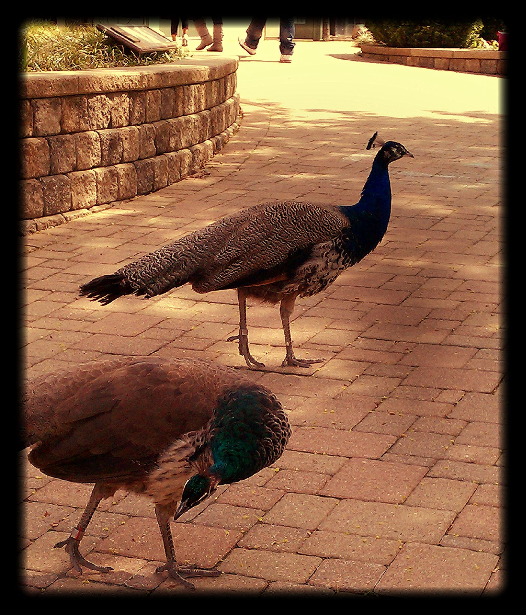 Peacocks  @Brookfield Zoo