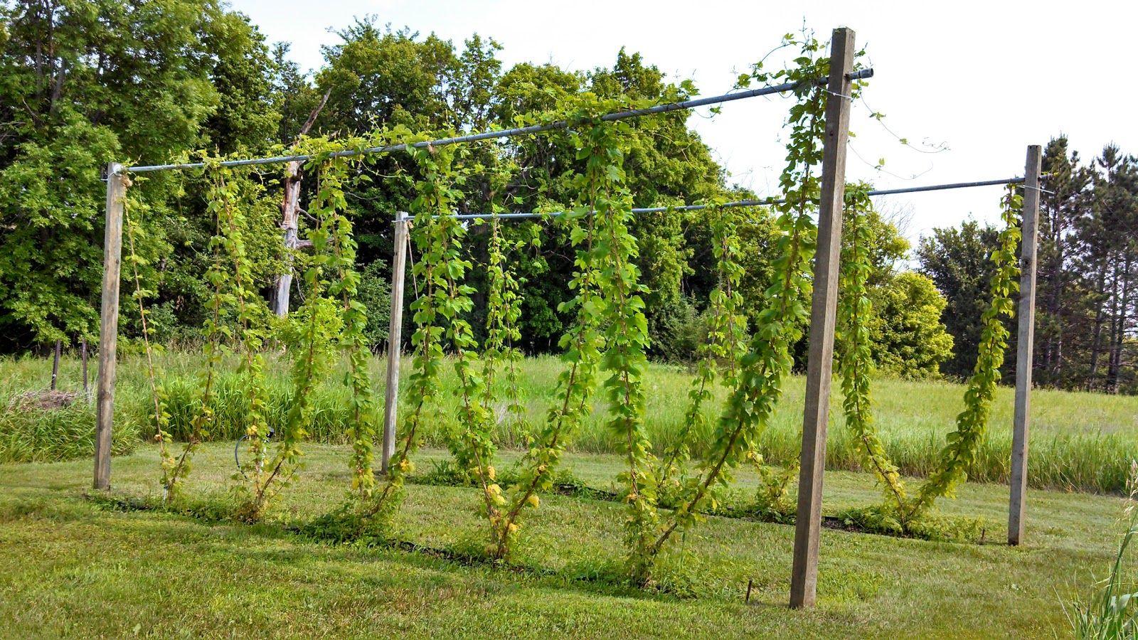 Growing hops vines hops trellis hops vine permaculture