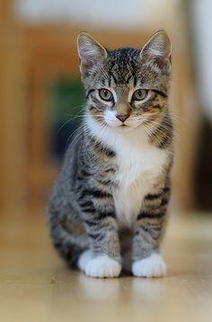 Black White Kittens Cute Cats Pretty Cats White Persian Kittens