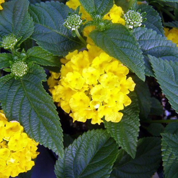 Lantana Hanging Basket Best Plantshed  Lantana  Hanging Basket  Garden Supply Delivery Decorating Inspiration