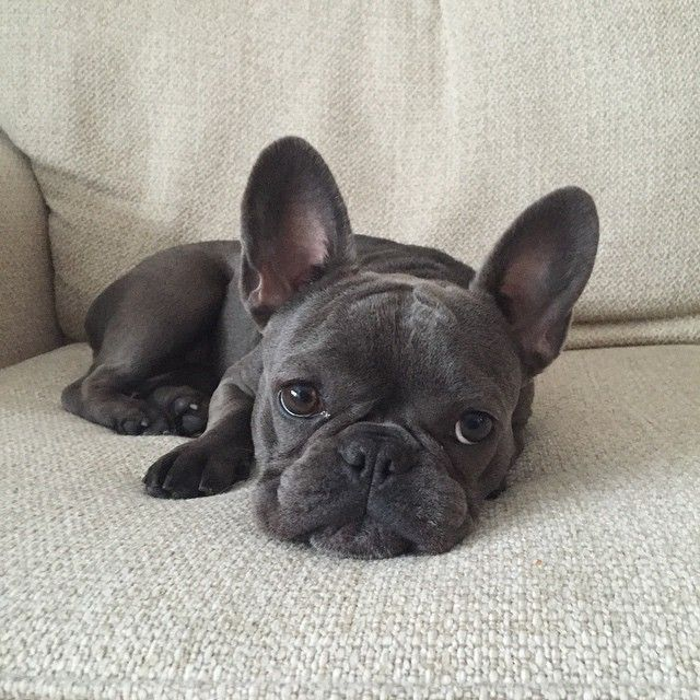 Megabit The Frenchie On Instagram Is It Summer Yet Winterweary Nomoresnow Megabitthefrenchie Frenchie Fren Bulldog Cute French Bulldog Bulldog Puppies