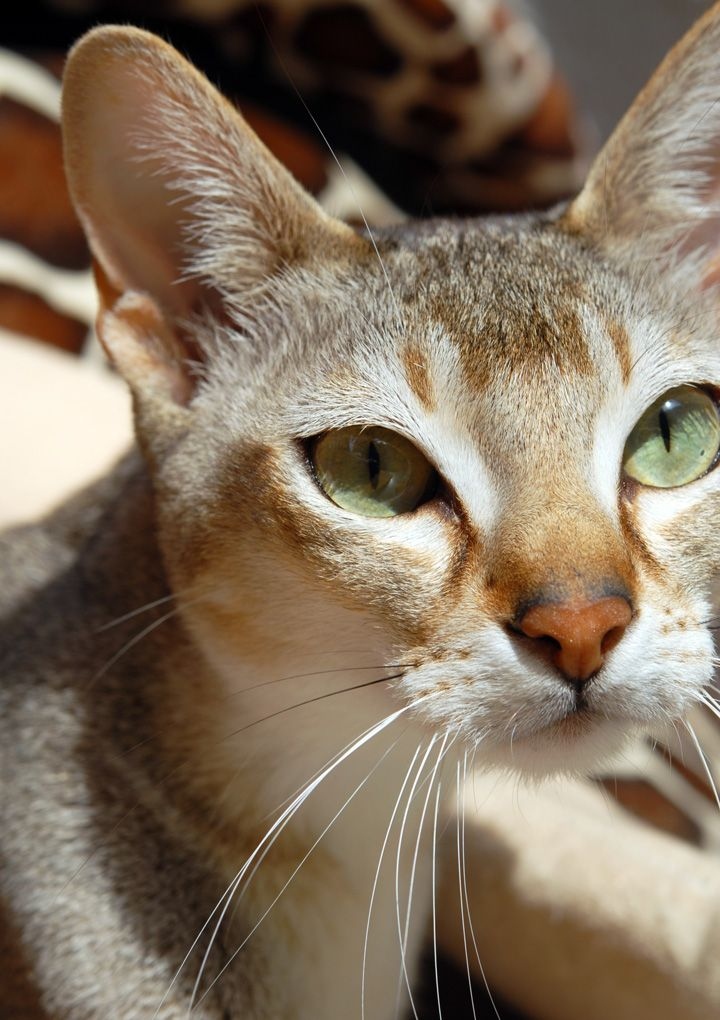 Top 5 Sweet Little Tiny Cats Breeds Cat breeds, Tiny