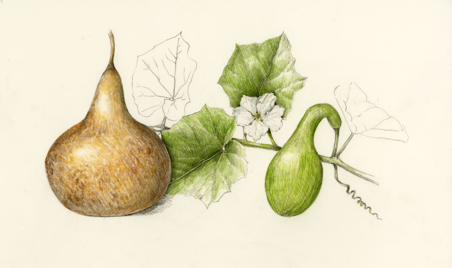 Ipu/Bottle Gourd. Lagenaria siceraria. These illustrations by Wendy Hollender appear on signage at the National Tropical Botanical Garden on Kauai to illustrate the canoe plants in their gardens.