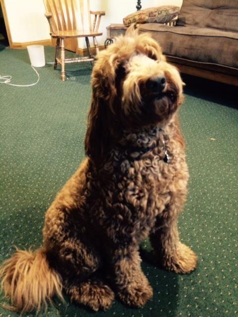 Adopt Nj Rosie On Ship Dog Dog Adoption Labradoodle Goldendoodle
