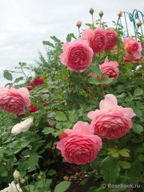 jubilee celebration english roses pinterest rosen kletterrosen and rosengarten. Black Bedroom Furniture Sets. Home Design Ideas
