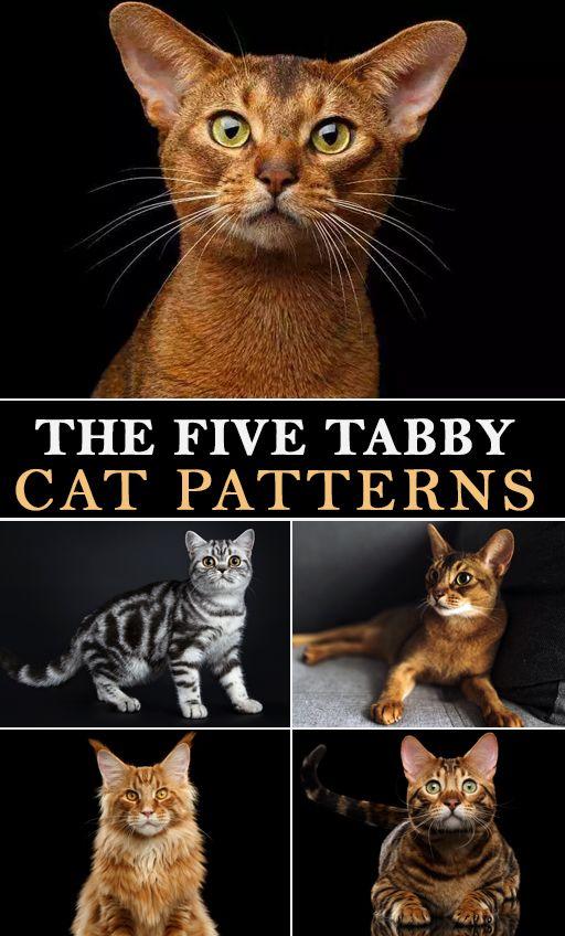 The Five Tabby Cat Patterns Grey tabby cats, Tabby
