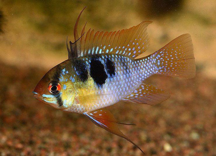13 Colorful Angelfish Compatible Tank Mates Angel Fish Tank Fish Tank Design Angel Fish