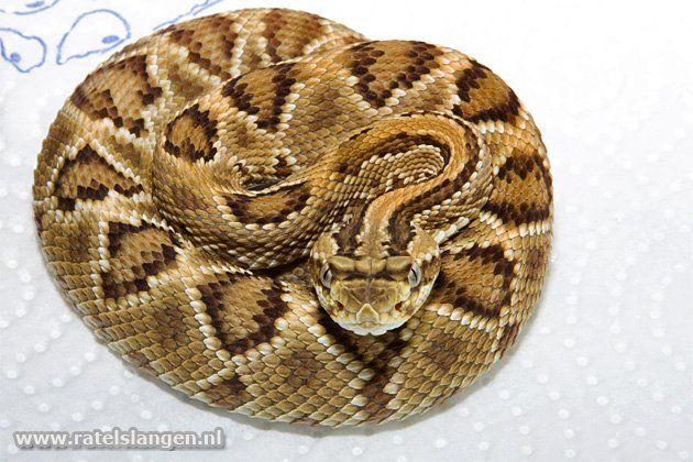 Mount Roraima rattlesnake (Crotalus durissus ruruima)