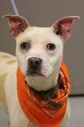 ADOPTED> NAME: Tonka ANIMAL ID: 34847969 BREED: Terrier mix SEX: male(altered) EST. AGE: 1 yr Est Weight: 43 lbs Health: Heartworm neg Temperament: dog friendly, people friendly ADDITIONAL INFO:RESCUE PULL FEE: $35 Intake date: 5/4 Available: Now