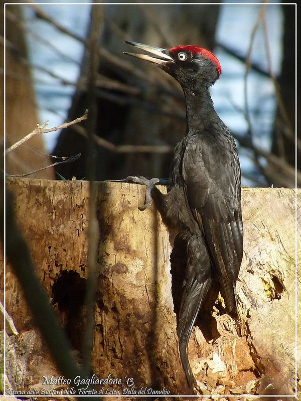 Black Woodpecker Dryocopus martius, Letea Forest, Danube Delta, Romania
