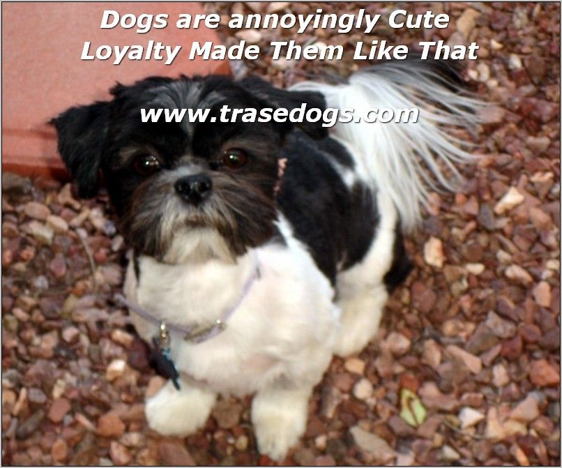 Dog Ownership Know It All Men S Best Friend Dogs Shih Tzu Dog