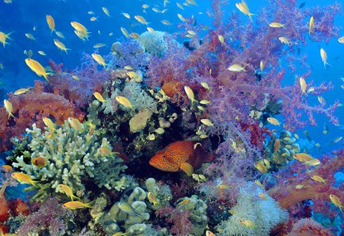 Coral Reefs - Coral grouper and basslets, Red Sea, Egypt by David Hall