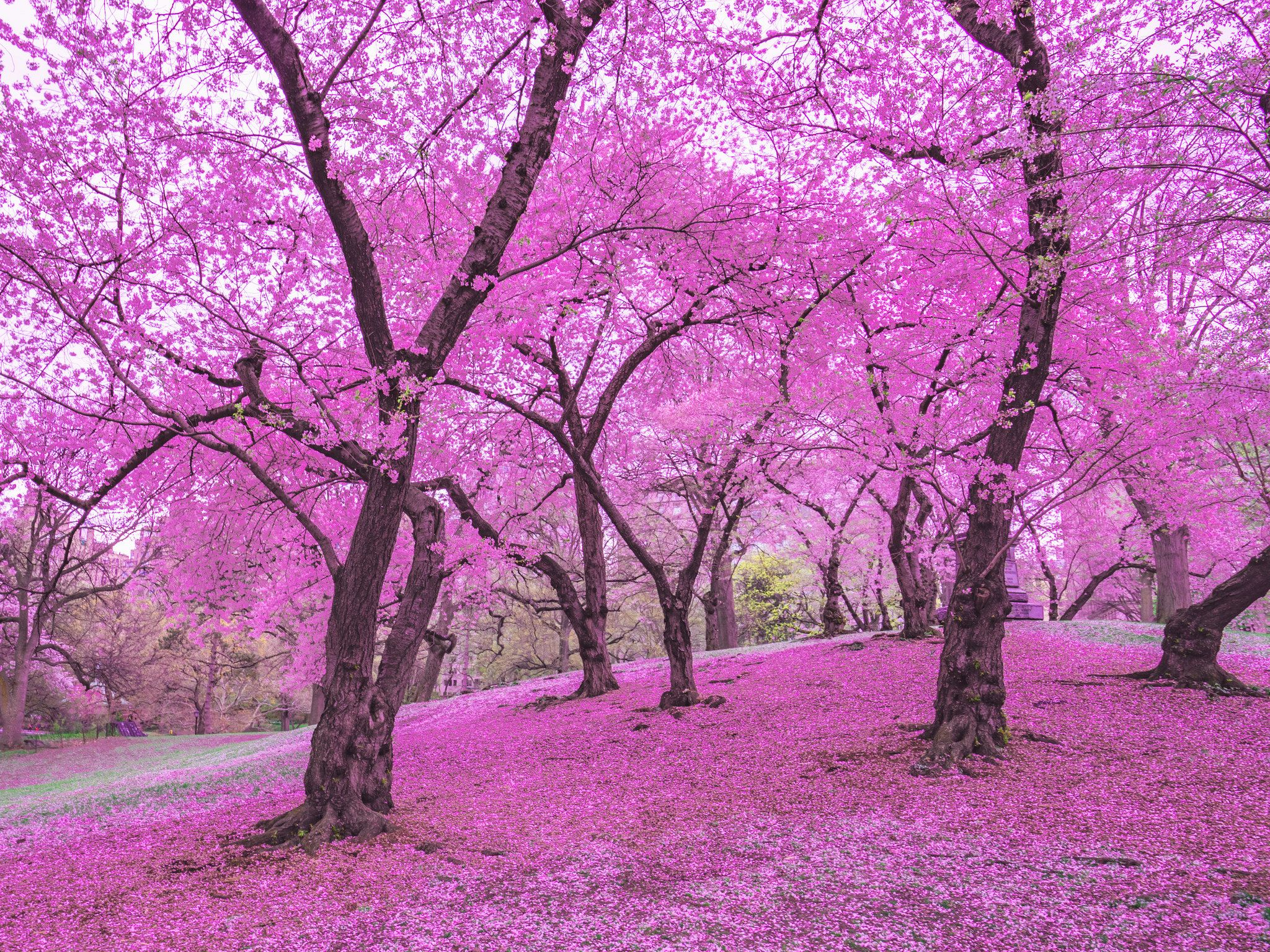 New York City Cherry Blossoms Tree Photography Spring In New York Nature Photography