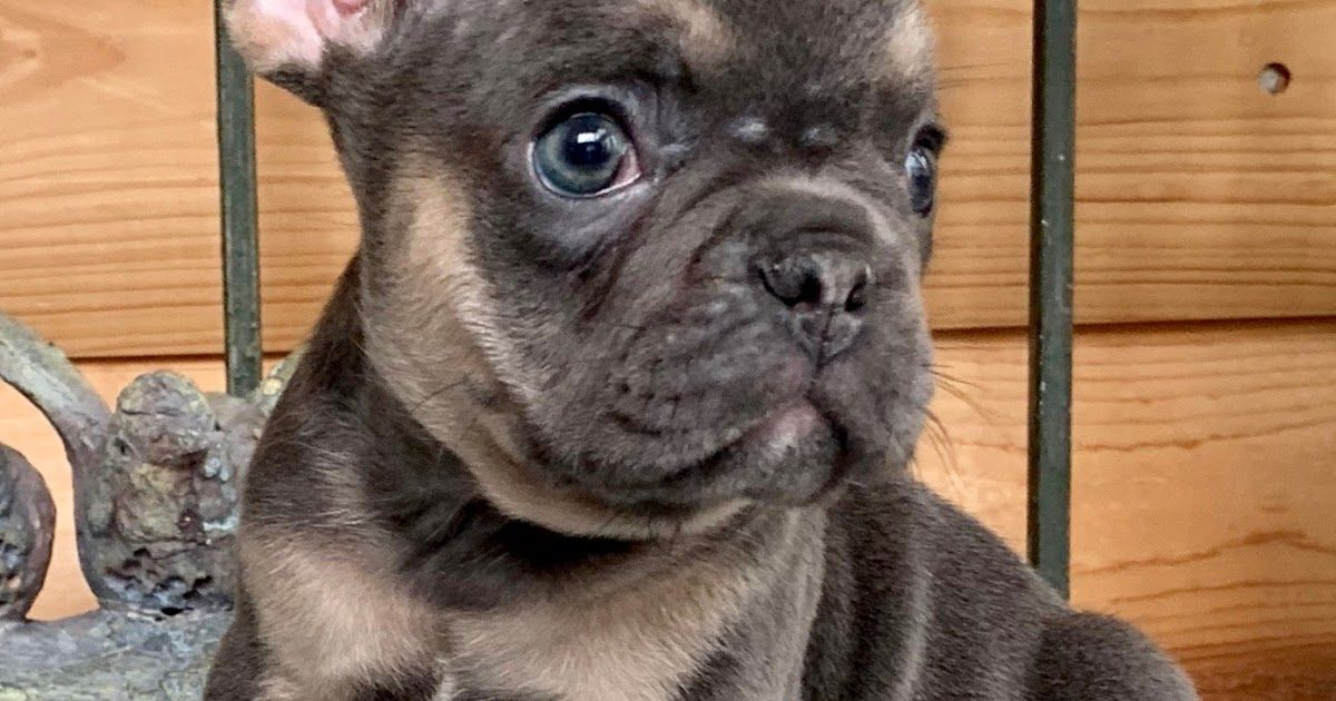 Sold Hoagie Blue W Tan Points Male French Bulldog The Our Dogs French Bulldog Breed Blue And Tan Black And Tan Fr French Bulldog Bulldog French Bulldog Breed