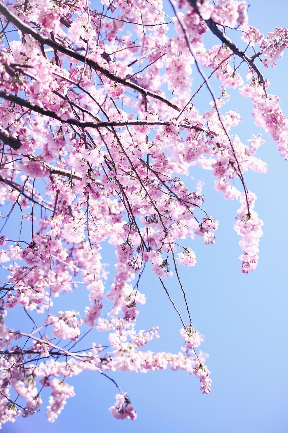 My Secret Cherry Blossom Spots In Vancouver Canada To Vogue Or Bust Blossom Cherry Blossom Granville Island