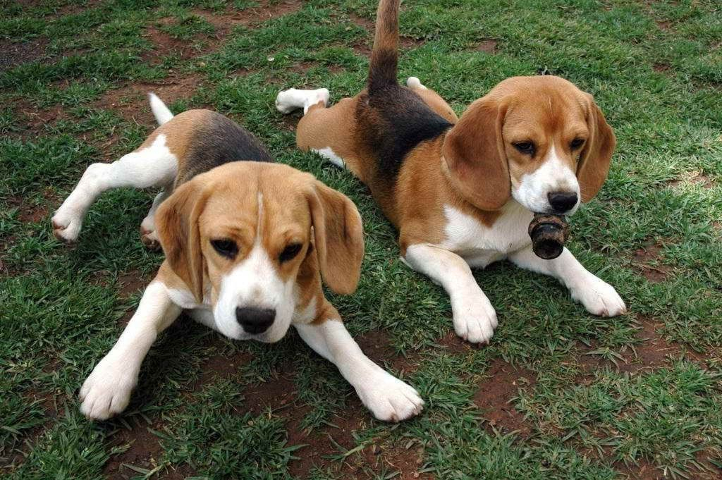 Basset Hound Beagle Mix Puppies For Sale Animals Beagle Mix