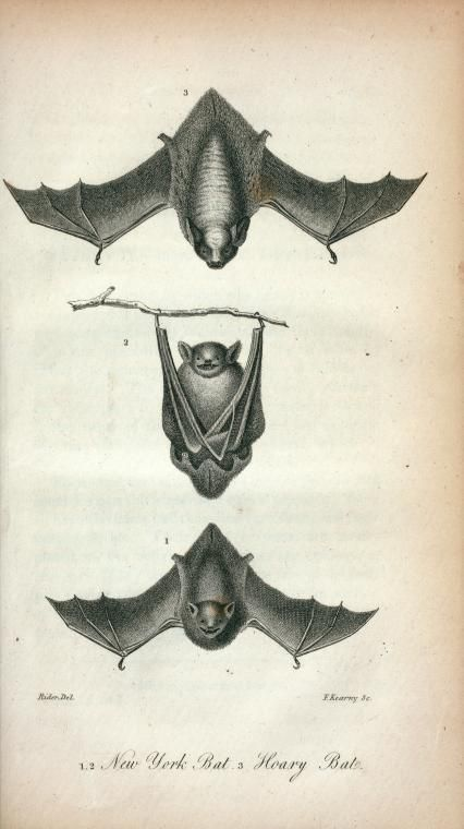 Antique Scientific Illustration Bats Hanging - halloween