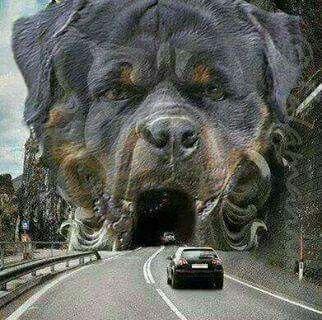Rottie tunnel!!!