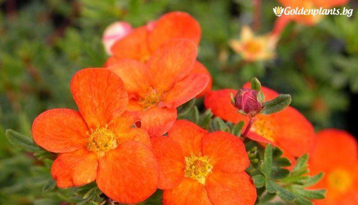 Потентила Hoopley Orange /Potentilla Hoopley Orange/