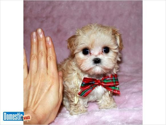 Christmas Puppies Are Here Tiny Teacup Maltipoo Small Cream