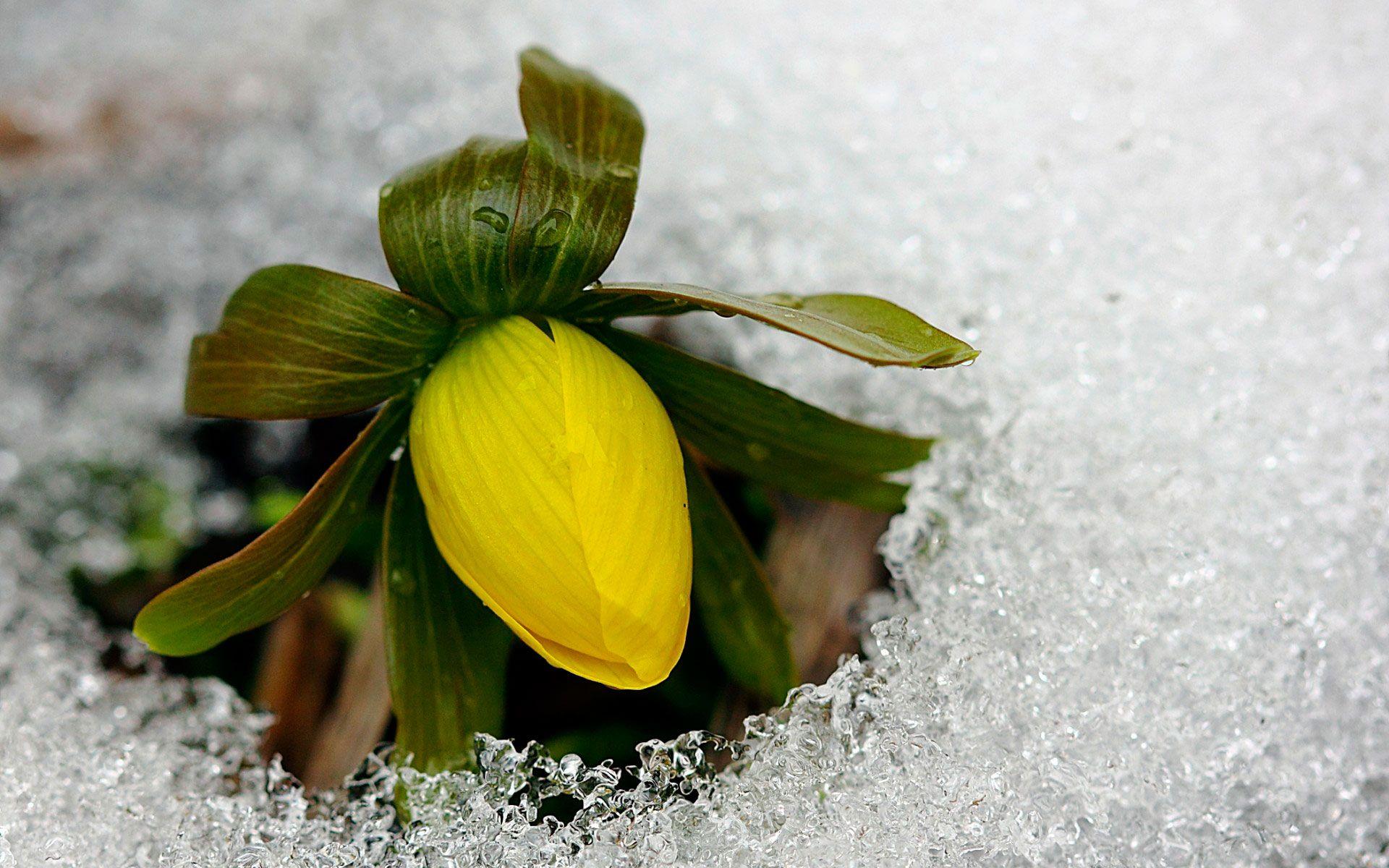 Háttérképek virág, rügy, sárga, jég, hideg, tavasszal az asztalon