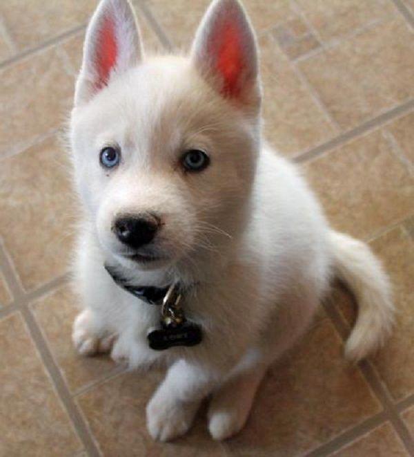 Siberian Husky Wolf Mix Puppies Zoe Fans Blog Siberian Husky
