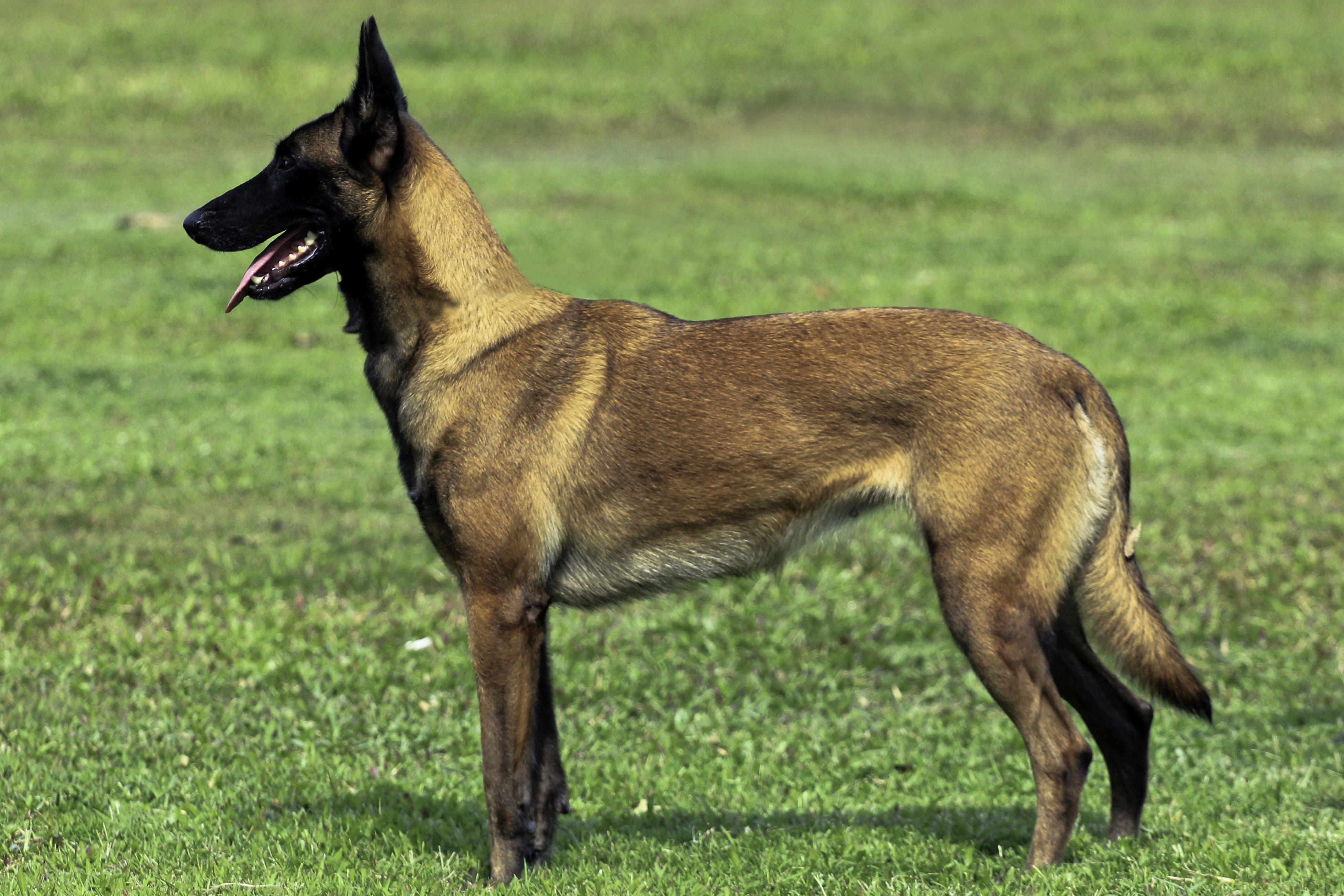 Belgian Mallinois Working Dog With Moderate Size And Handsome