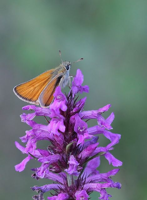 Butterflies of the UK. an insight into their lives: Small Skipper female