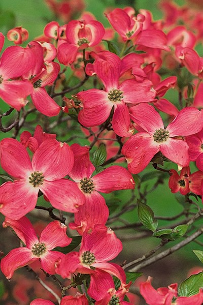 Buy Cherokee Chief Red Dogwood Tree Free Shipping Cornus Florida For Sale Online From Wilson Bros Gardens In 2020 Red Dogwood Dogwood Trees Trees To Plant