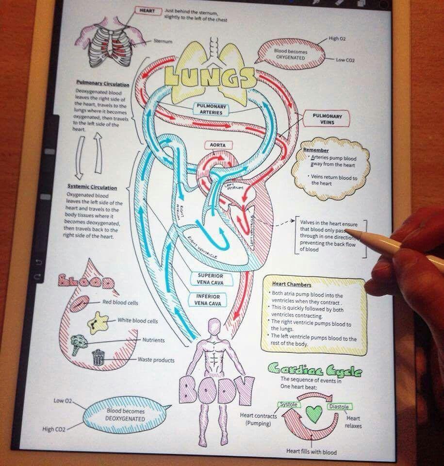 Sistema respiratorio | Medicina | Pinterest | Sistema respiratorio ...
