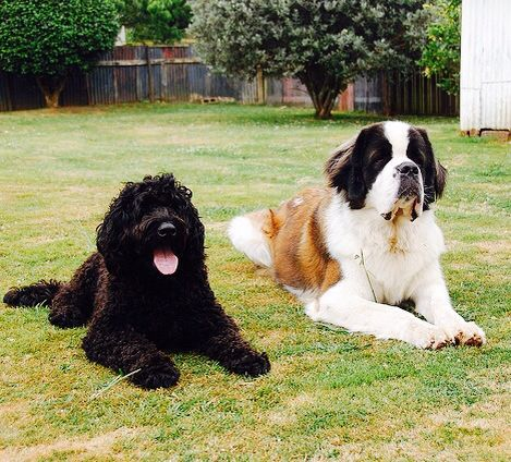 Black Labradoodle And St Bernard Perfect Combo For Our House