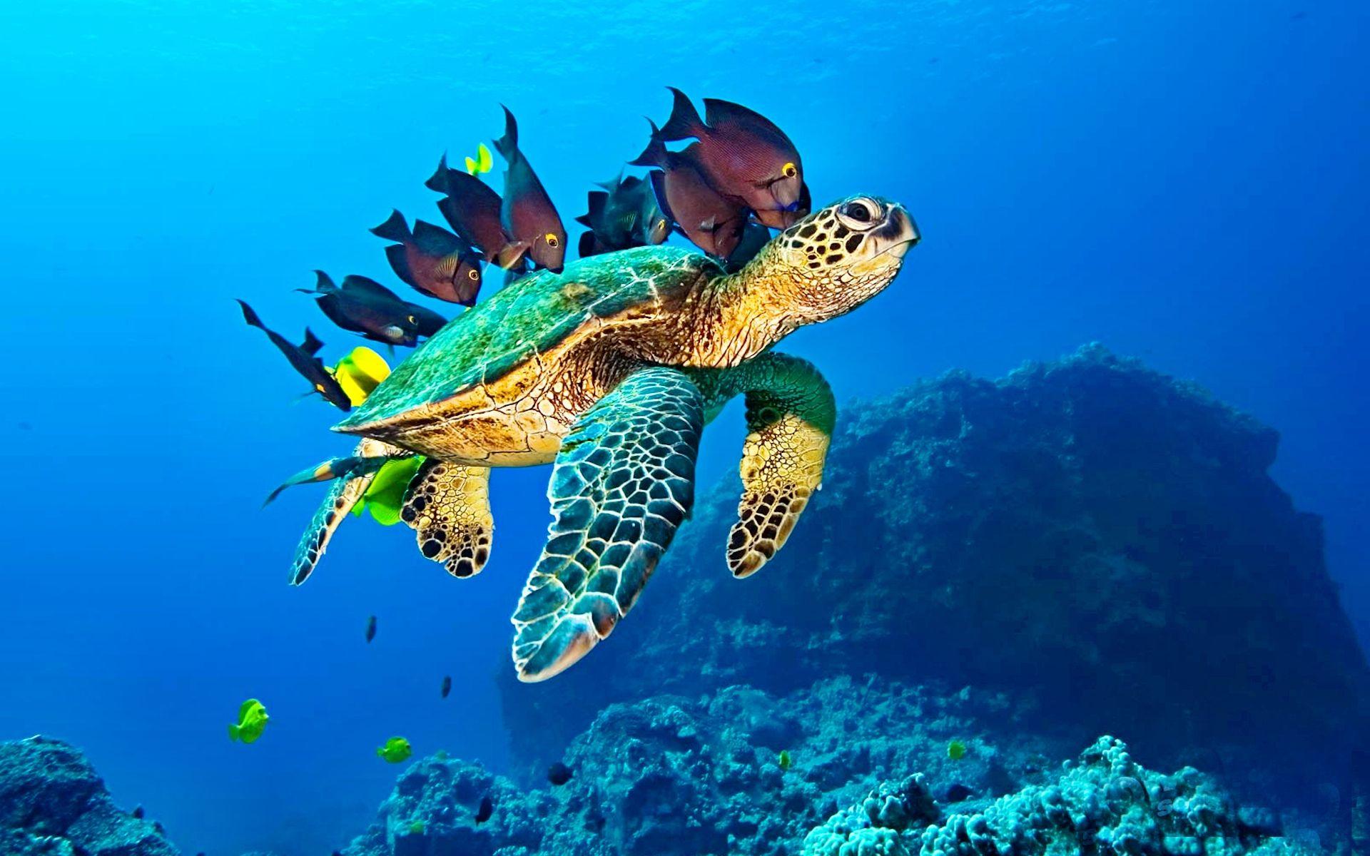 Tortue marine recherche google tortues pinterest - Images tortue ...