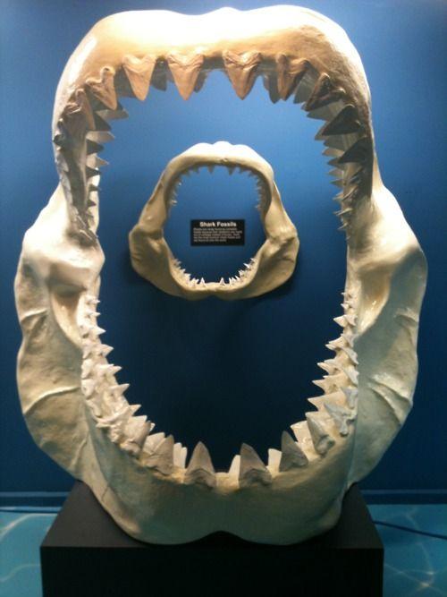 Megalodon Shark Vs Great White Shark Jaws | www.pixshark ...