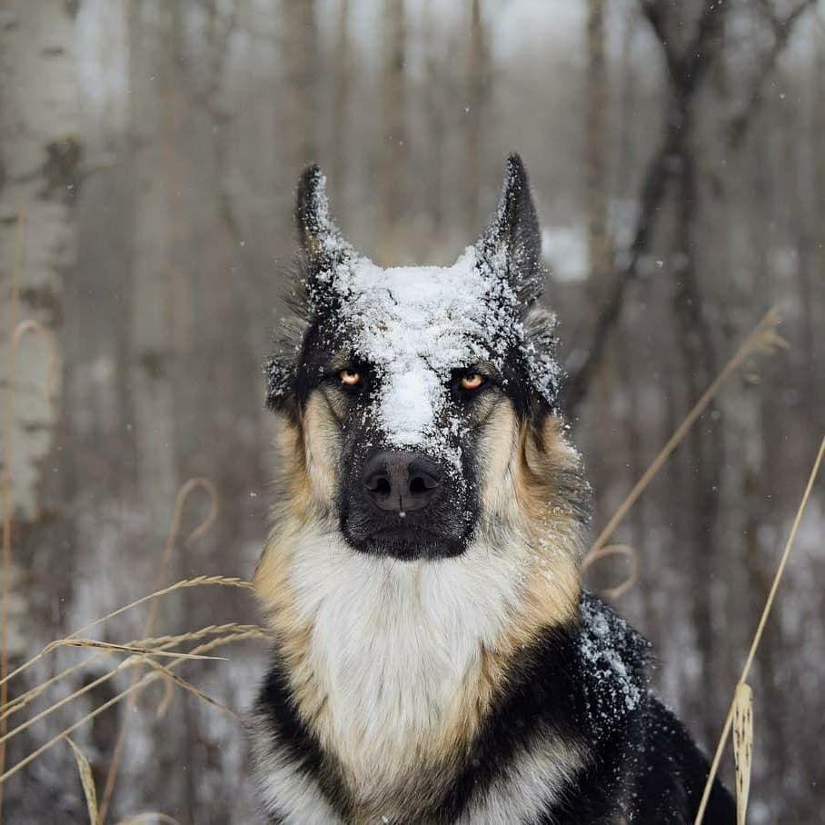 Easiest Dog Breed To House Train German Shepherd Germanshepherd