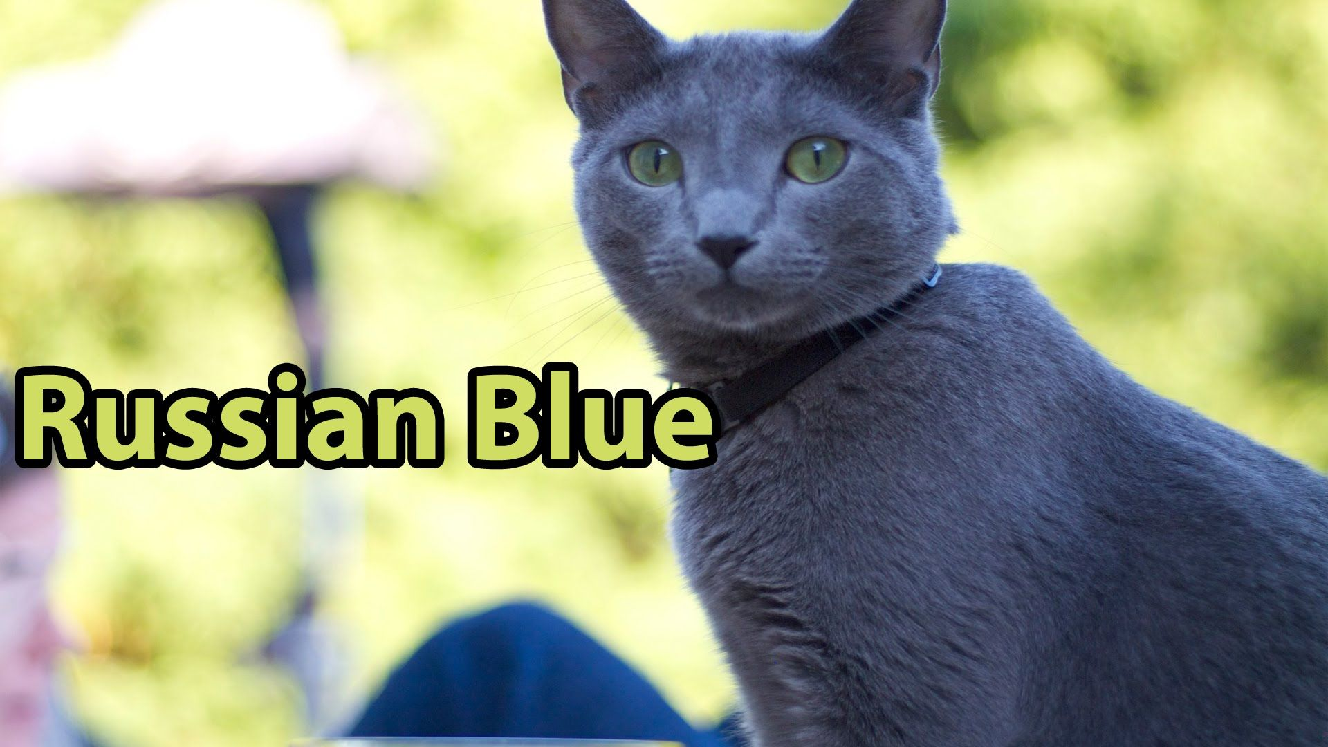Related image Russian blue, Russian cat, Cat names