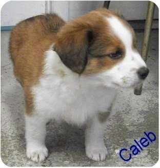Australian Shepherd St Bernard Mix Caleb Google Search Cuteness